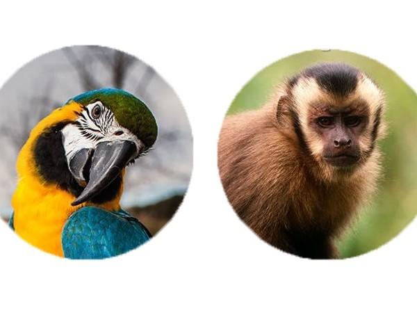 Manipulación guacamaya y mono capuchino. Yolcati