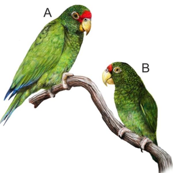 Ilustración del nuevo amazonas: macho, (A), hembra (B). Ilustración por Juan García Venegas.